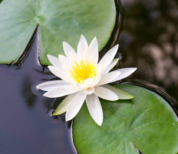 A White Lotus Flower in full bloom and Lily Pads floating in a Pond stock photo