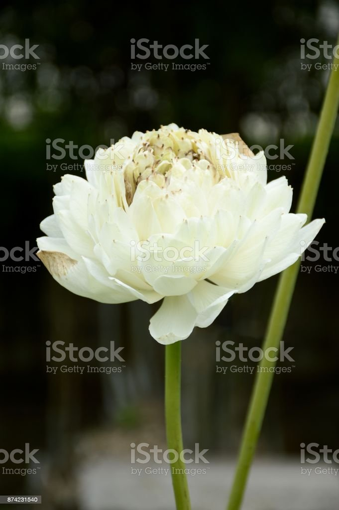 White Lotus Flower In Nature Garden Stock Photo More Pictures Of