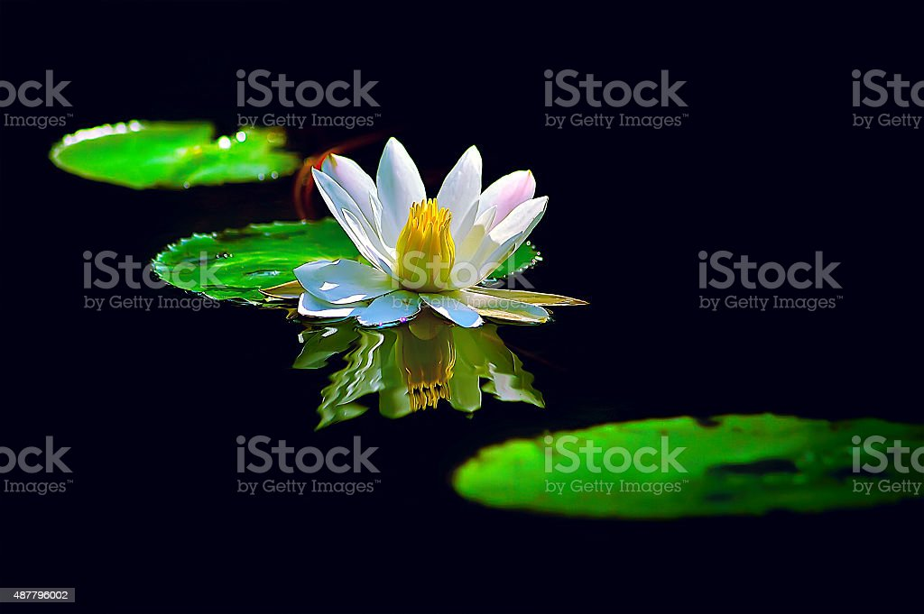 white lotus flower in the dark pond stock photo