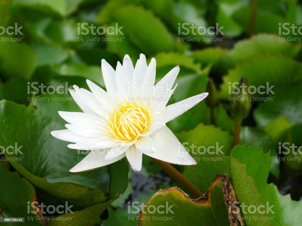 vit lotusblomma vid en sjö royaltyfri bildbanksbilder