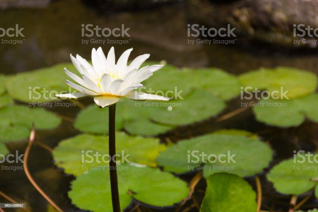 Nilüferler gölet üzerinde beyaz lotus çiçeği - Royalty-free Akuatik Organizma Stok görsel