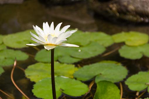 Nilüferler Gölet Üzerinde Beyaz Lotus Çiçeği Stok Fotoğraflar & Akuatik Organizma'nin Daha Fazla Resimleri