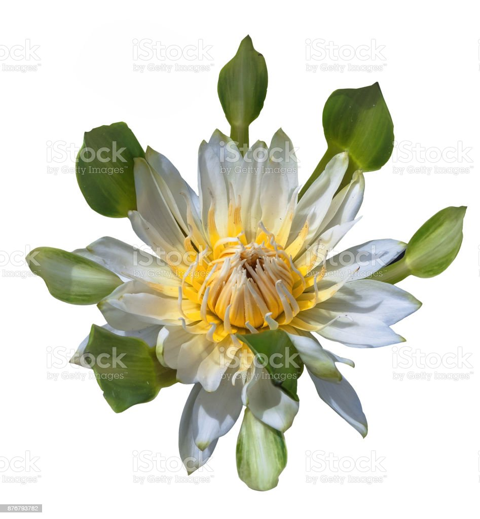 White Lotus Flower On White Background With Clipping Path Stock