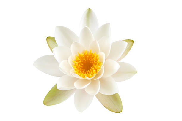 White Lotus flower White Lotus flower isolated on white background. Clipping path included. water lily stock pictures, royalty-free photos & images
