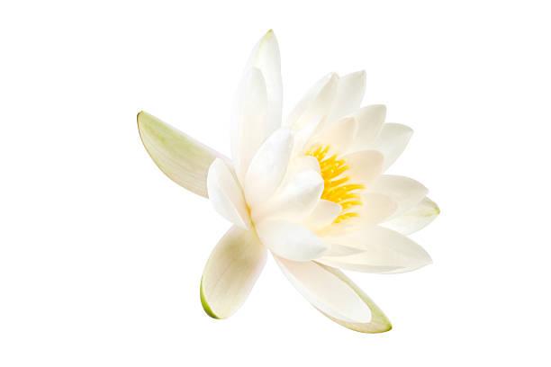 branco flor de lótus - lotus - fotografias e filmes do acervo
