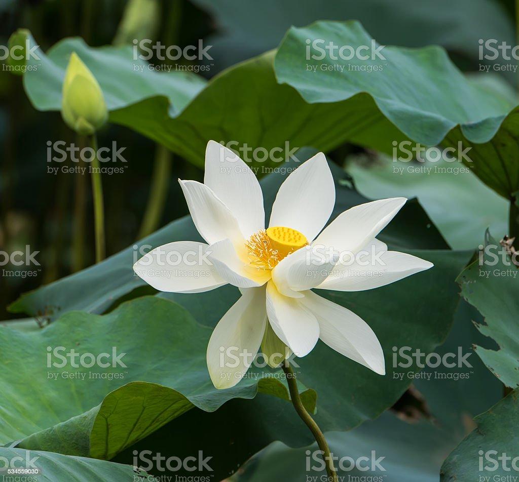 White lotus flower stock photo more pictures of asia istock white lotus flower royalty free stock photo izmirmasajfo