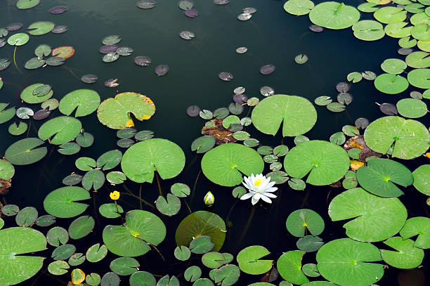 White lotus in the pond White lotus blossoming in the pond water lily stock pictures, royalty-free photos & images