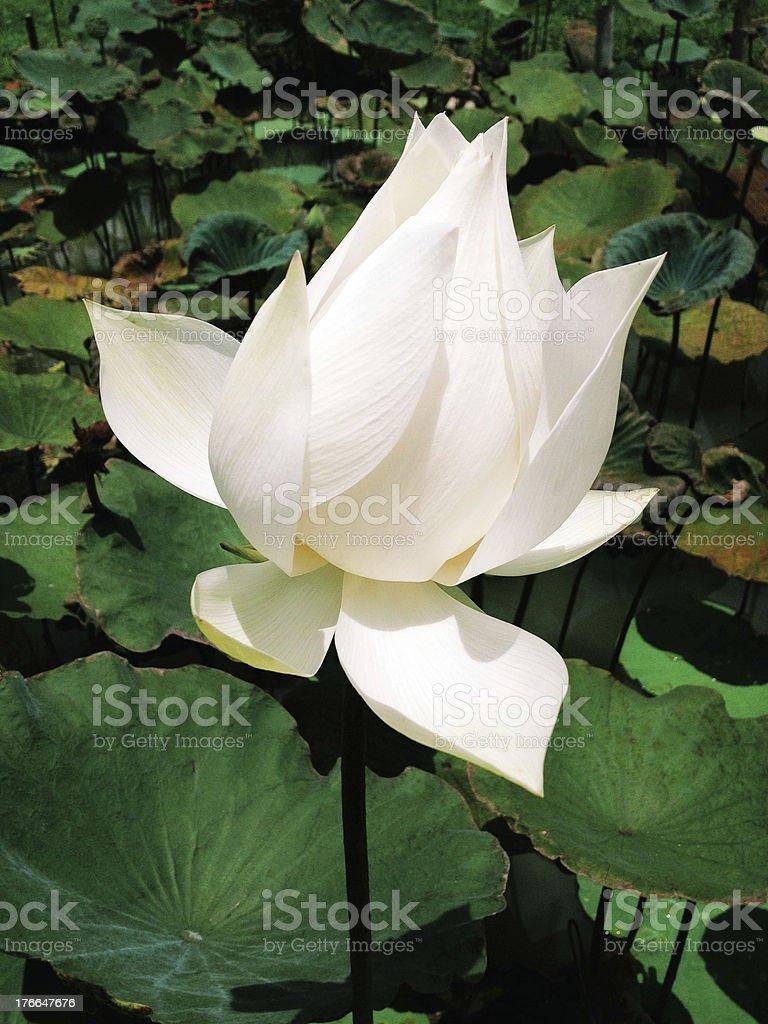 White lotus royalty-free stock photo