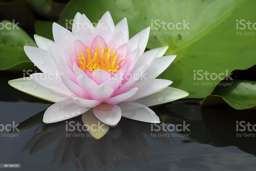 White Lotus. stock photo