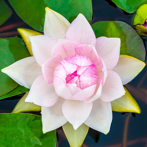 loto bianco - masaniello foto e immagini stock