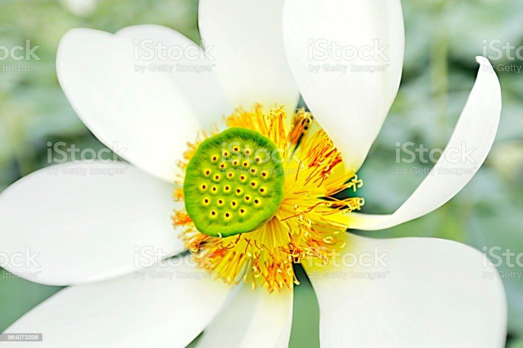 White lotus - Royalty-free Back Stock Photo