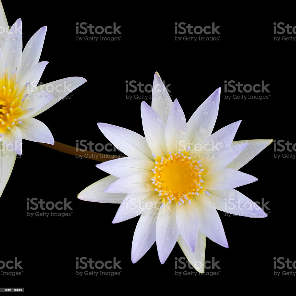White Lotus Second. royalty-free stock photo