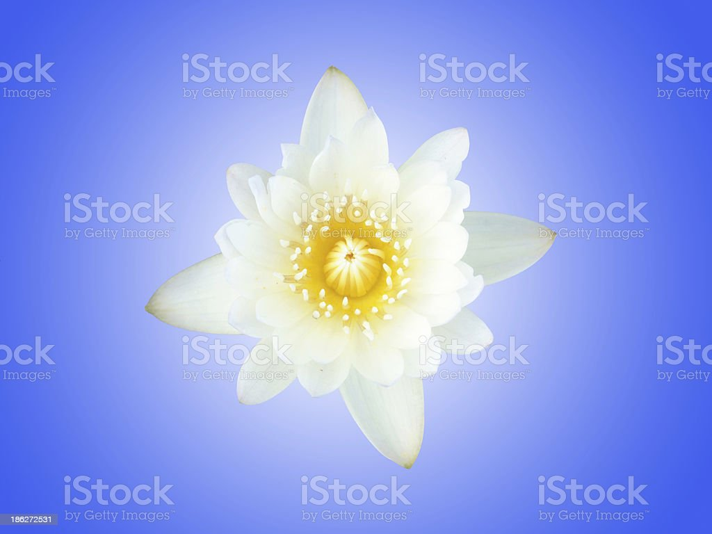 white lotus with blue background royalty-free stock photo