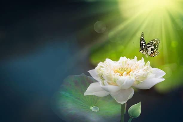 White lotus with morning light and flying butterflies picture id1141578025?b=1&k=6&m=1141578025&s=612x612&w=0&h=8jaujatfxrhukeoekbsspckruezfbwzz2gllgvhjinc=