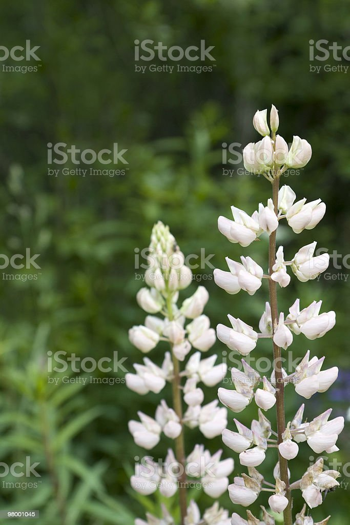 White lupines royalty-free stock photo