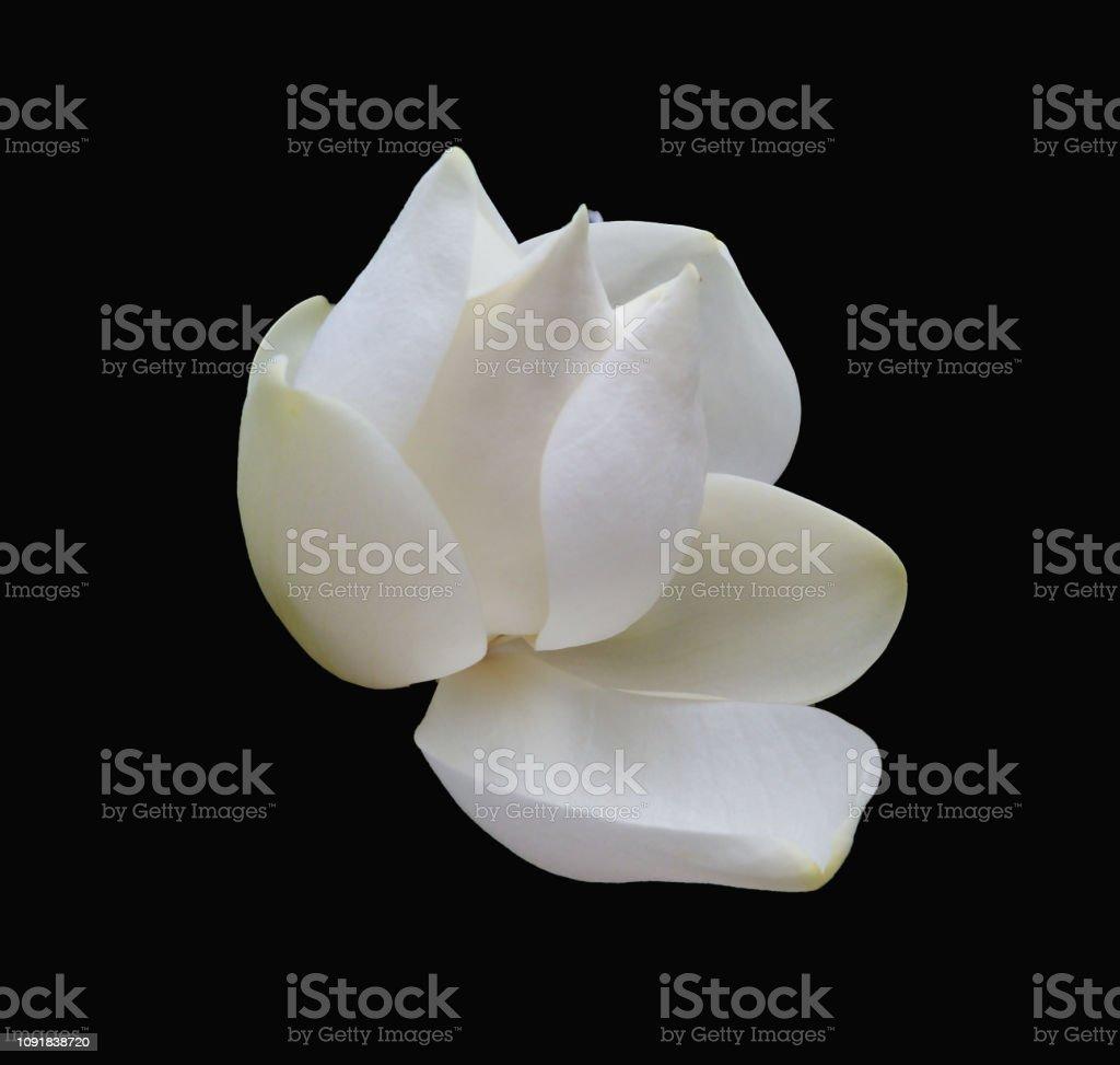 White Magnolia bloom on black background stock photo