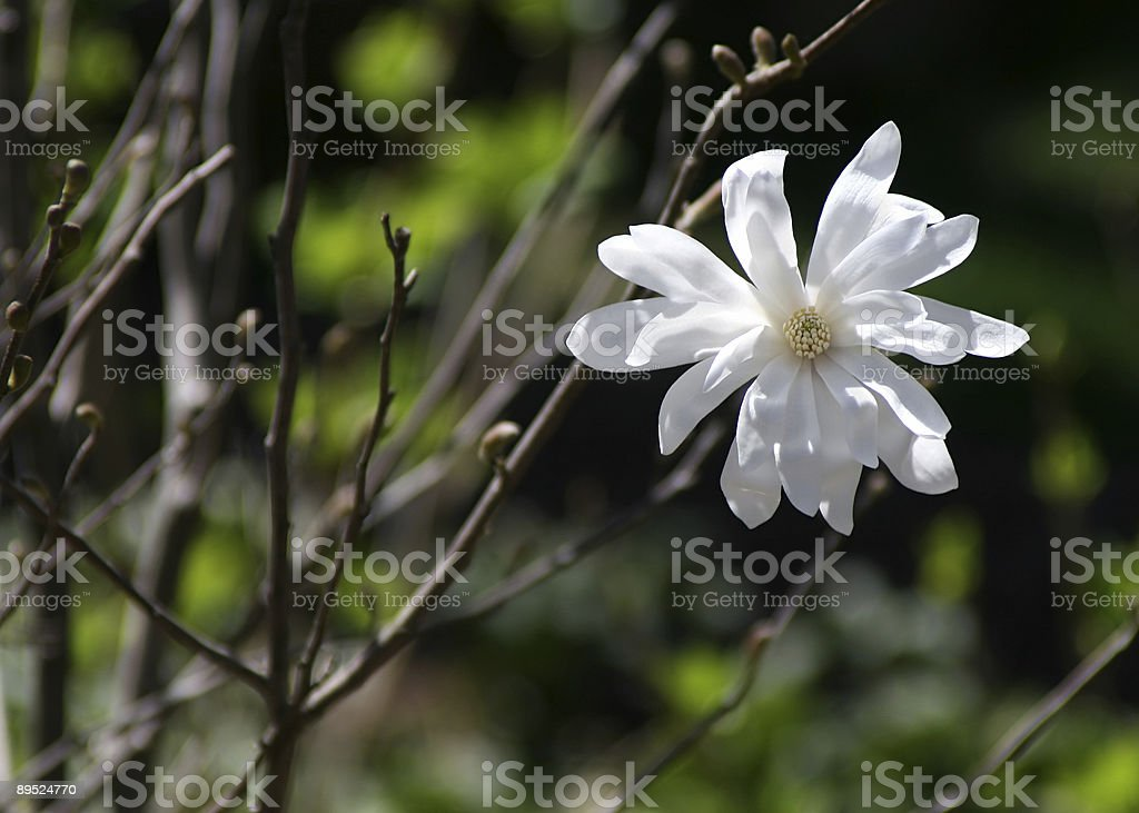 White Magnolia Blossom royalty-free stock photo