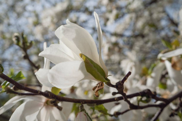 White Magnolia Blossoms on tree in spring stock photo
