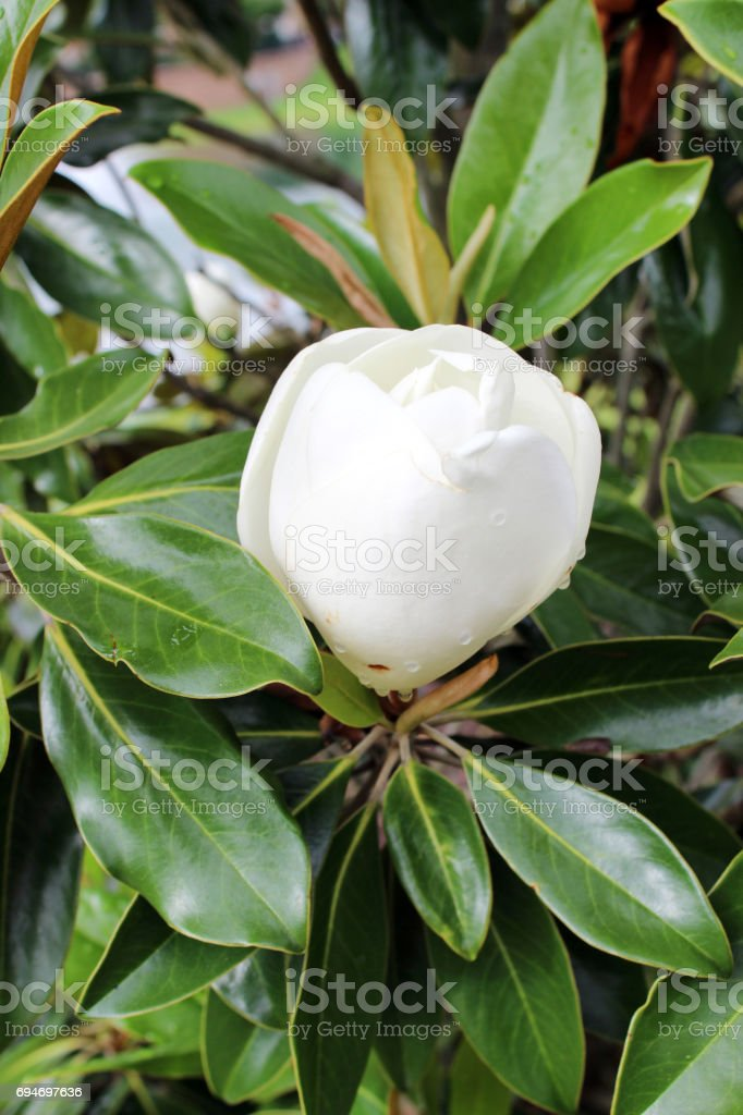 White magnolia bud stock photo