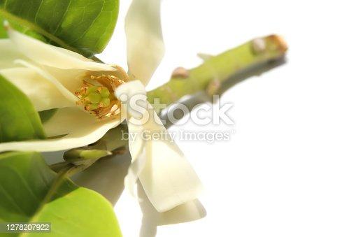 istock White Magnolia champaca 1278207922