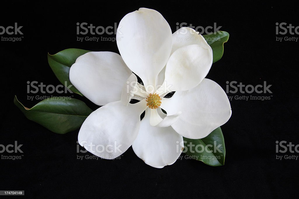 A white magnolia flower blossoming stock photo