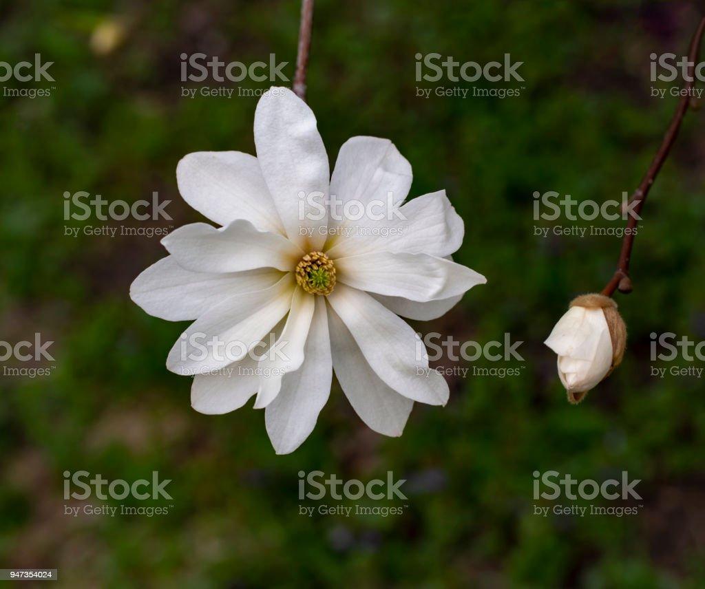White Magnolia Flower On Dark Green Blurry Background Stock Photo