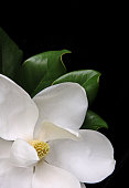 Beautiful white magnolia isolated on black