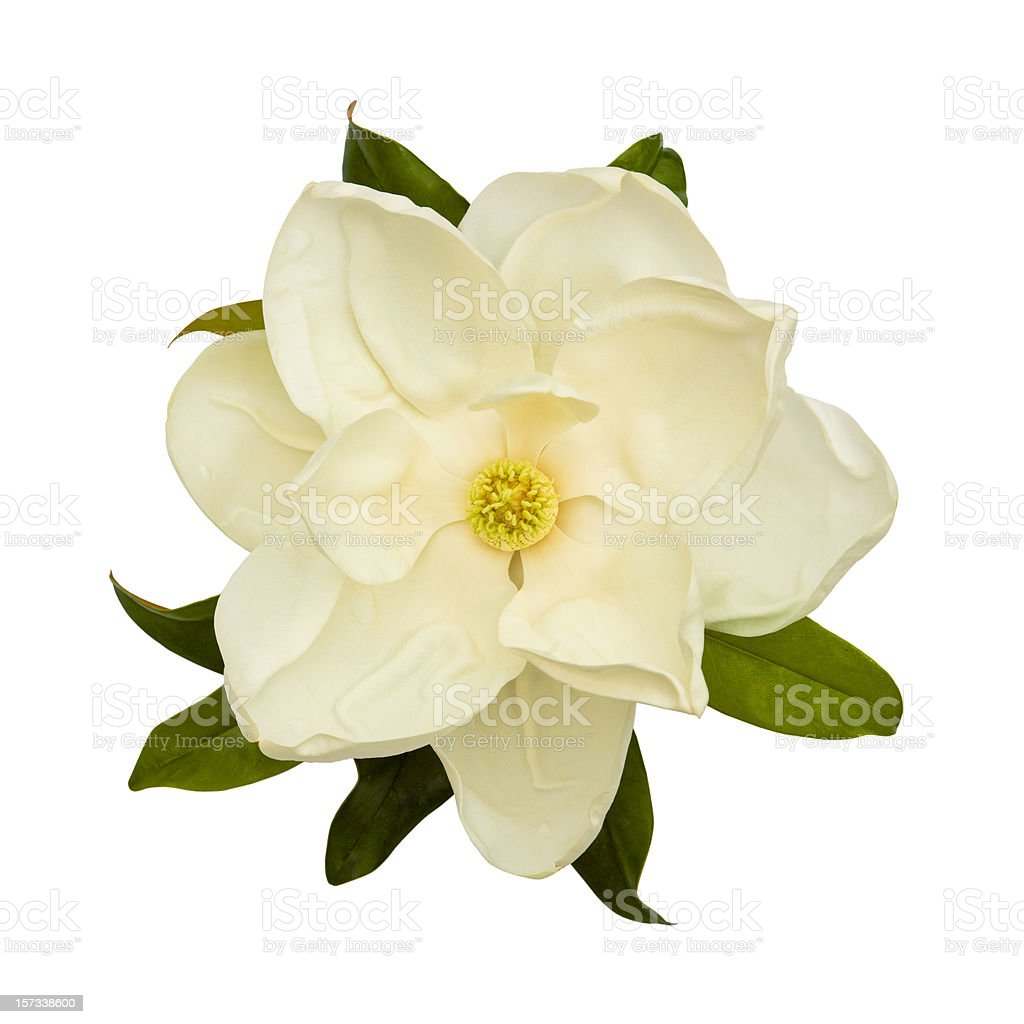 White Magnolia Flower stock photo