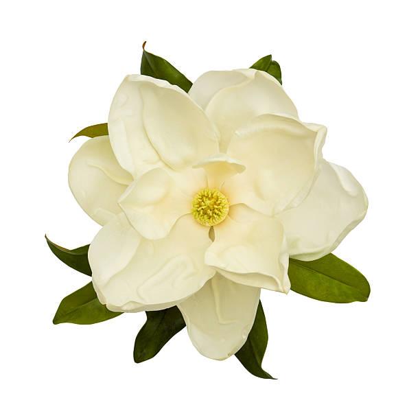 белый магнолия цветок - magnolia стоковые фото и изображения