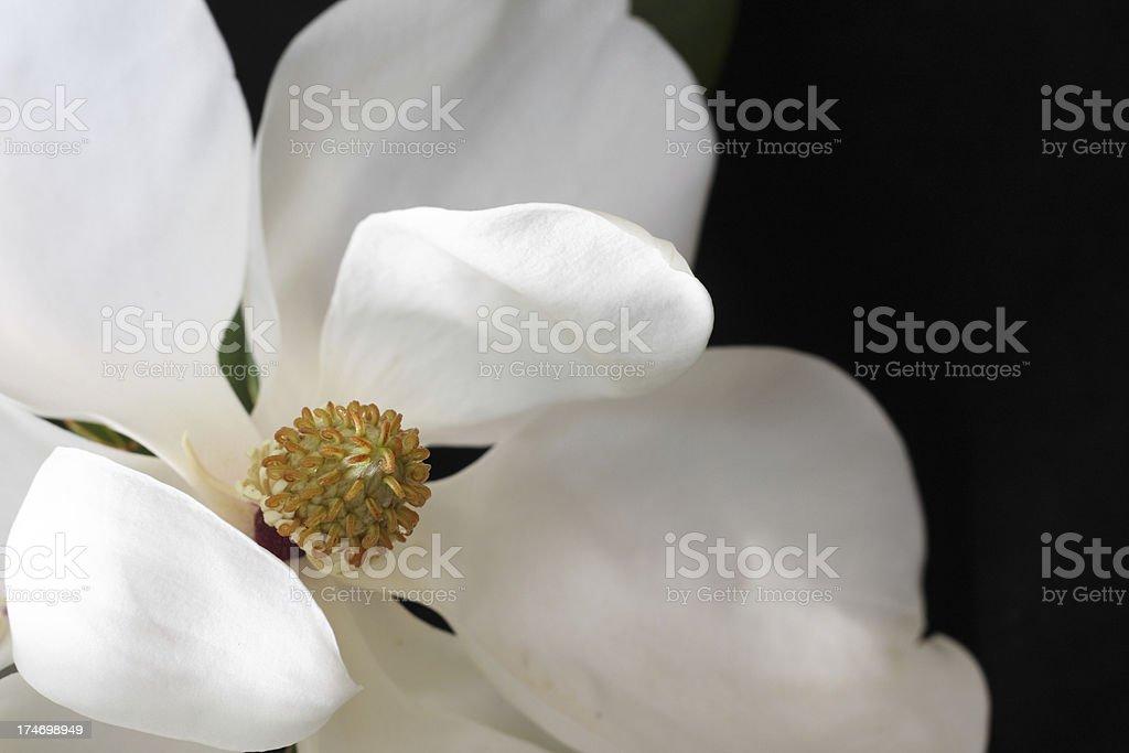 White Magnolia Flower royalty-free stock photo
