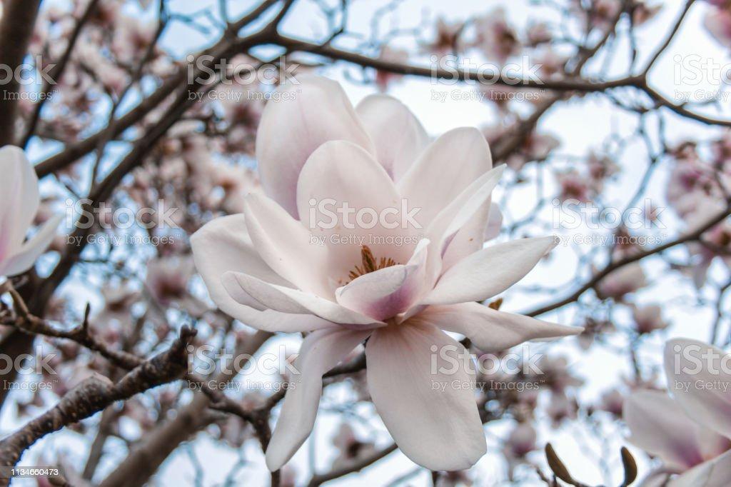 Witte Magnolia Flower tree in Dunedin Botanic Garden, Zuid eiland, Nieuw-Zeeland foto