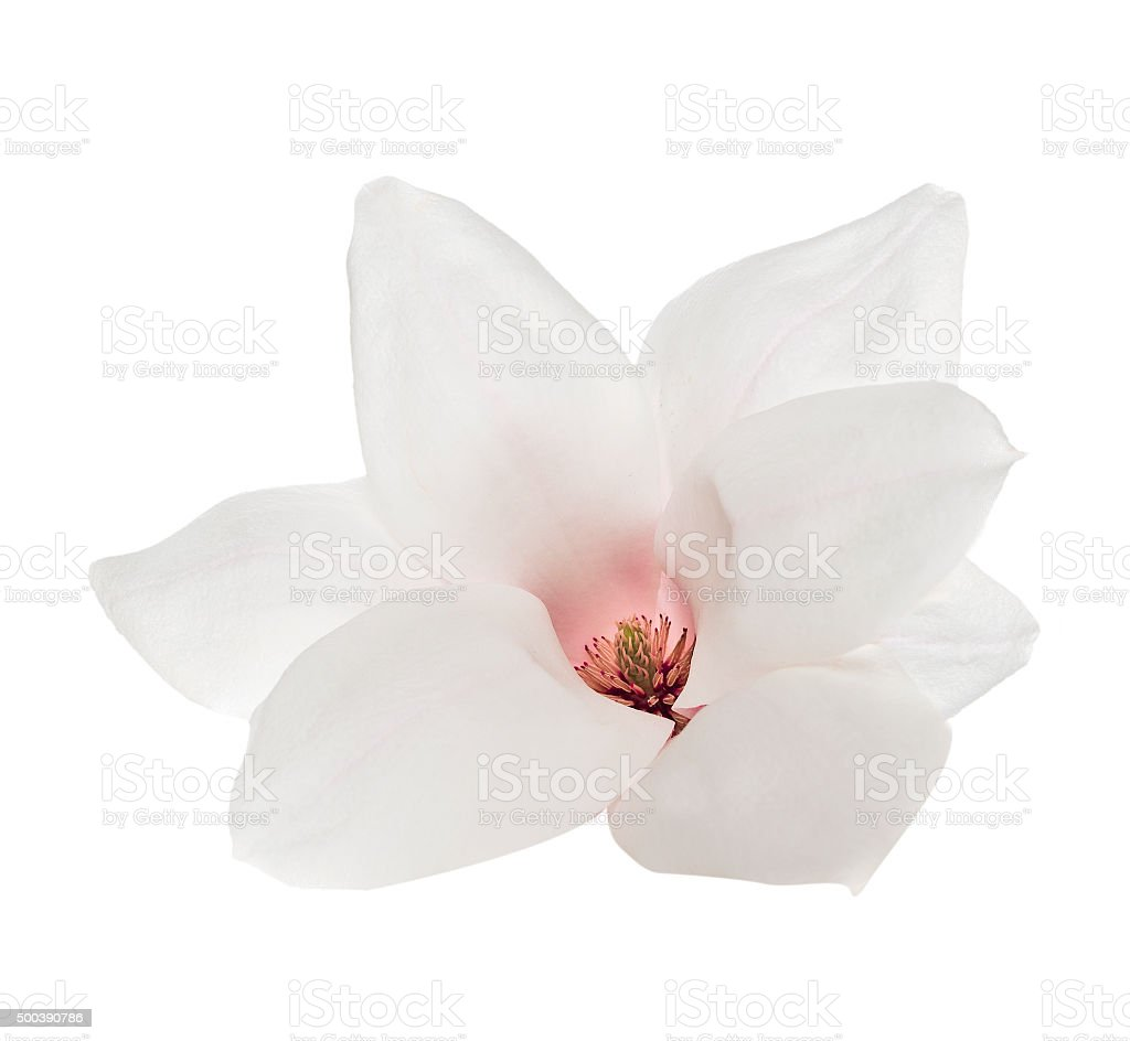White magnolia flower with pink stamen, isolated stock photo