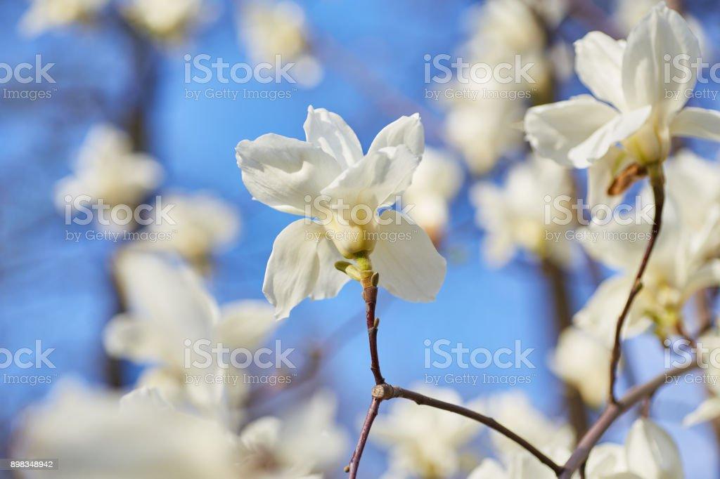 White magnolia flowering stock photo