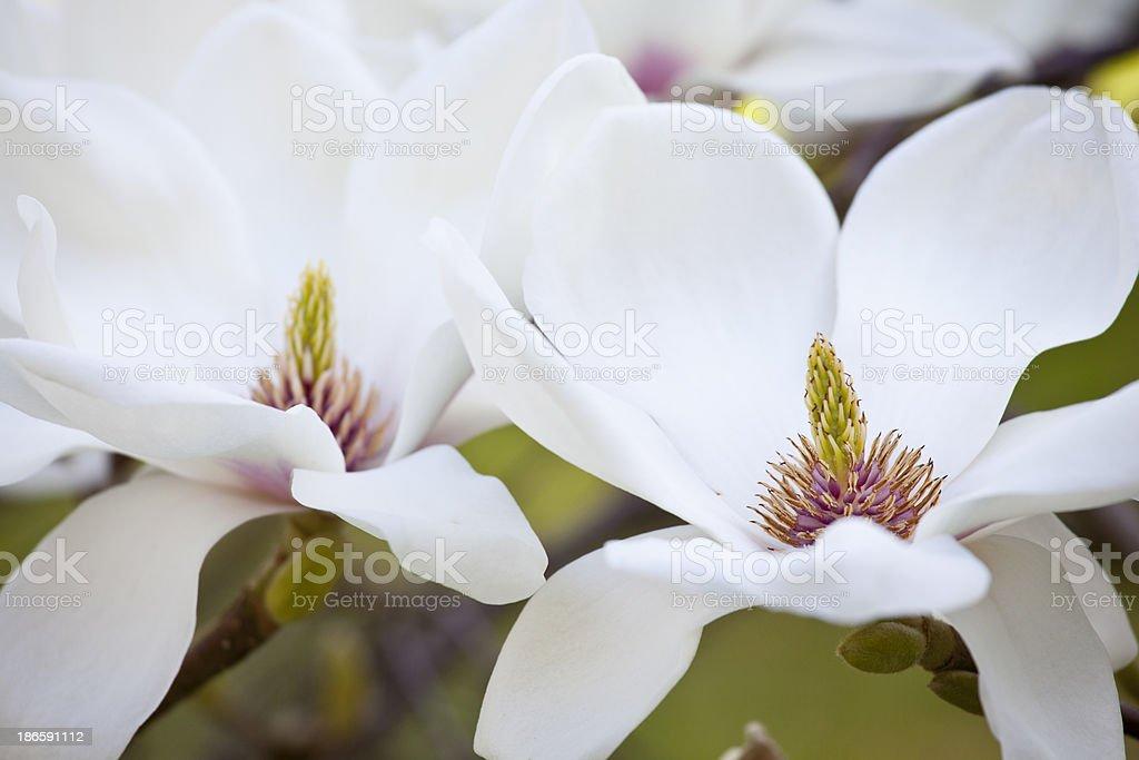 White Magnolia Flowers. stock photo