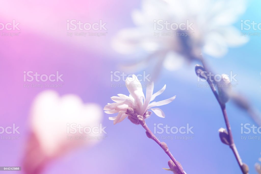 White Magnolia Flowers Stock Photo More Pictures Of Art Istock