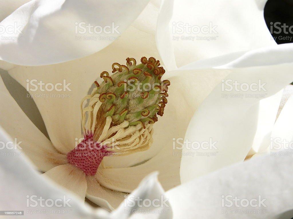 인명별 매그놀리아 (Close-up royalty-free 스톡 사진