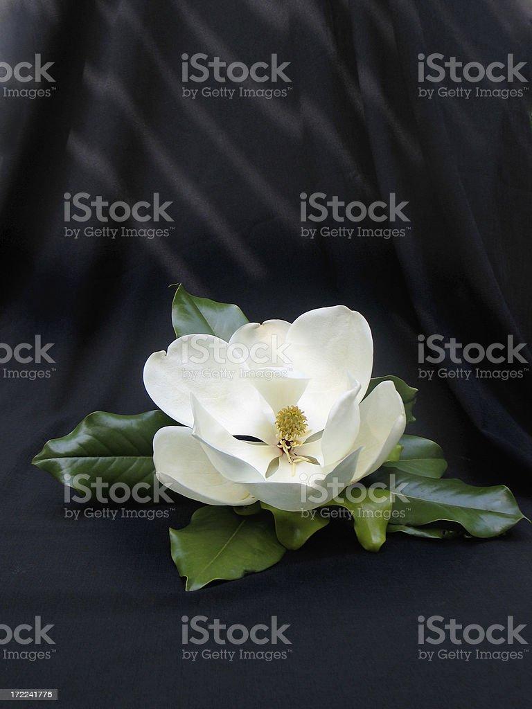 White Magnolia on Black royalty-free stock photo