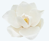 Fresh bloom of a white magnolia with yellow center on white background.