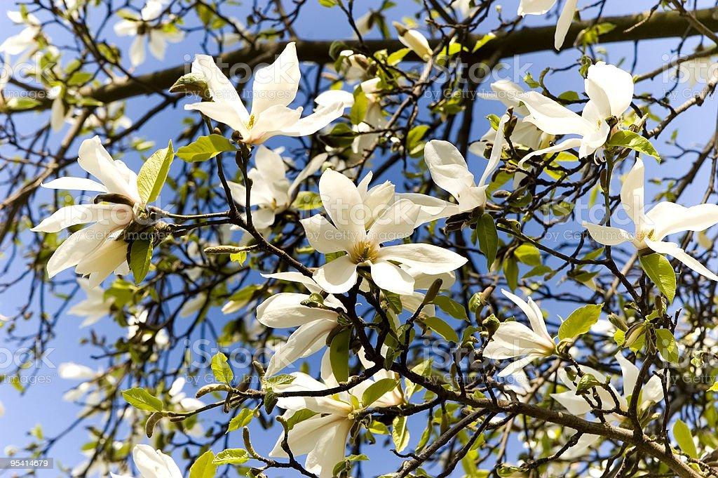 white magnolia Lizenzfreies stock-foto