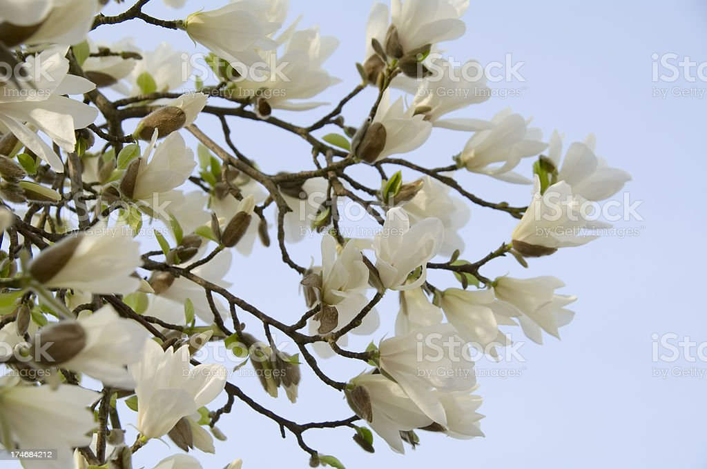 White Magnolia soulangeana in bloom against Blue Sky royalty-free stock photo