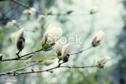 istock white Magnolia tree flower head in springtime. 1210787381