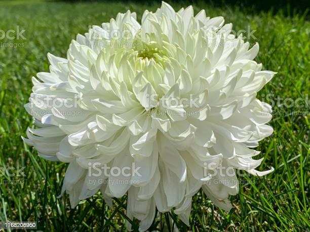 White magnum chrysanthemum flower head and green grass picture id1168208950?b=1&k=6&m=1168208950&s=612x612&h=osibl0xn0j2r5hl19gnudjulxamsi8ofs8ck5tdhc k=
