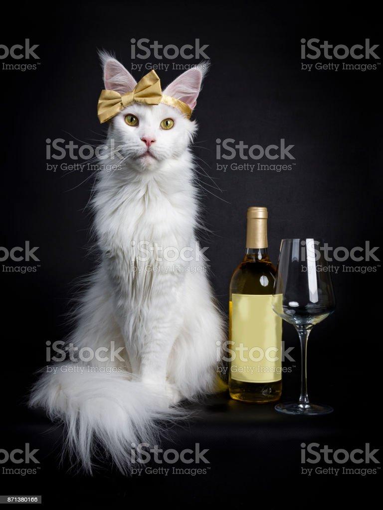 Wit Maine Coon meisje kat draagt gouden strik op het hoofd zitten met wijn glas en fles geïsoleerd op zwarte achtergrond foto