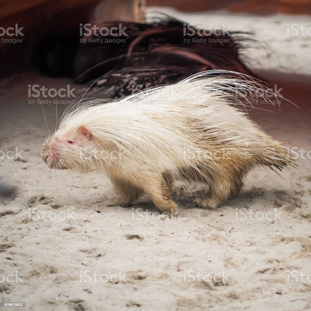 white malayan porcupine standing on floor stock photo