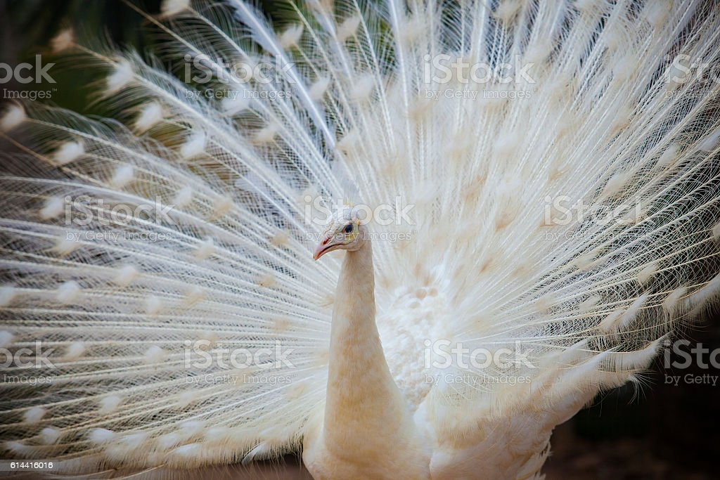 white male indian peacock stock photo