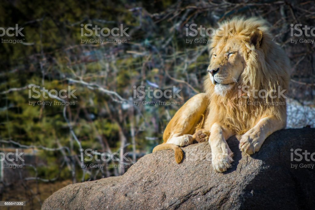 White male lion relaxing on a hot day on rock stock photo