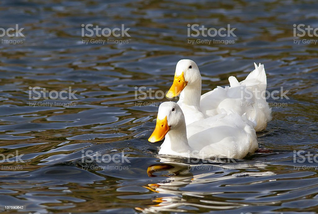White mallards in a row. royalty-free stock photo