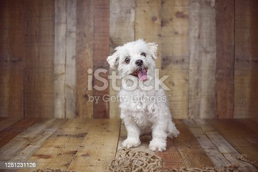 615107296 istock photo White Maltese dog 1251231126