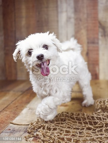 615107296 istock photo White Maltese dog 1251231144