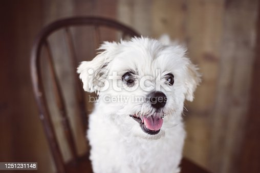 615107296 istock photo White Maltese dog 1251231148
